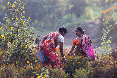 Women in saris pick wildflowers near the tiny village of Bantala, in the East Kolkata Wetlands, Kolkata, India. They're worki...