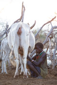 Karamojong woman milking a cow in the village, northern Uganda