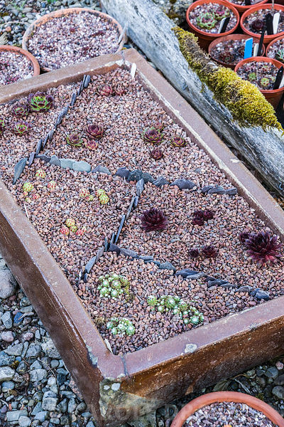 A newly planted container of sempervivums.