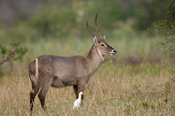 male Common waterbuck (Kobus ellipsiprymnus ellipsiprymnus), Liwonde National Park, Malawi