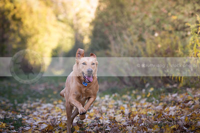 tan shorthaired cross breed dog running to camera in autumn leaves
