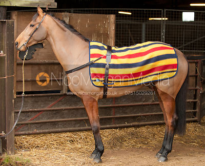 Racehorse wearing racing tack - Royalty free image