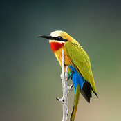 Whitefronted Bee-eater perched on branch