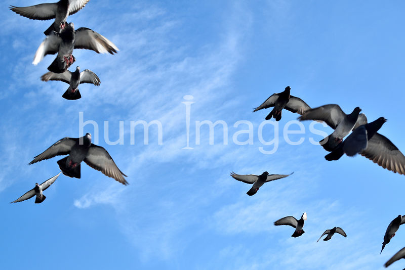 Animal Stock Photos: Pigeons in flight and bright blue sky