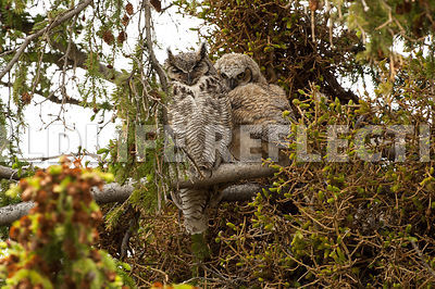great_horned_owl_mom_and_kid-6