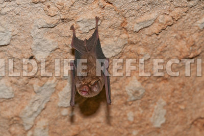funnel_eared_bat_hanging_6