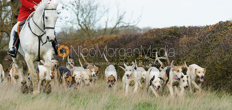 Quorn Hunt hounds