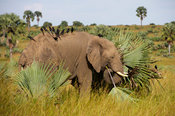 African elephant with piapiacs on its back, Loxodonta africana africana, Murchison Falls National Park, Uganda