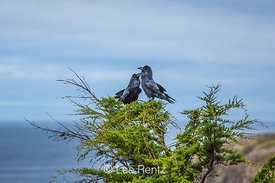 Pair of Common Ravens Socializing along the Northern California Coast