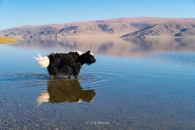 A yak wades into Tolbo Lake in western Mongolia in Bayant-Ölgii province.