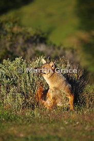 Culpeo or Zorro Rojo (Lycalopex culpaeus) about to scratch, in strong early morning sunshine, Torres del Paine National Park,...