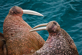 Pacific Walrus males jabbing with tusks