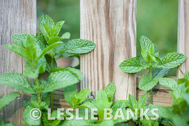 Mint Leaves in the Garden