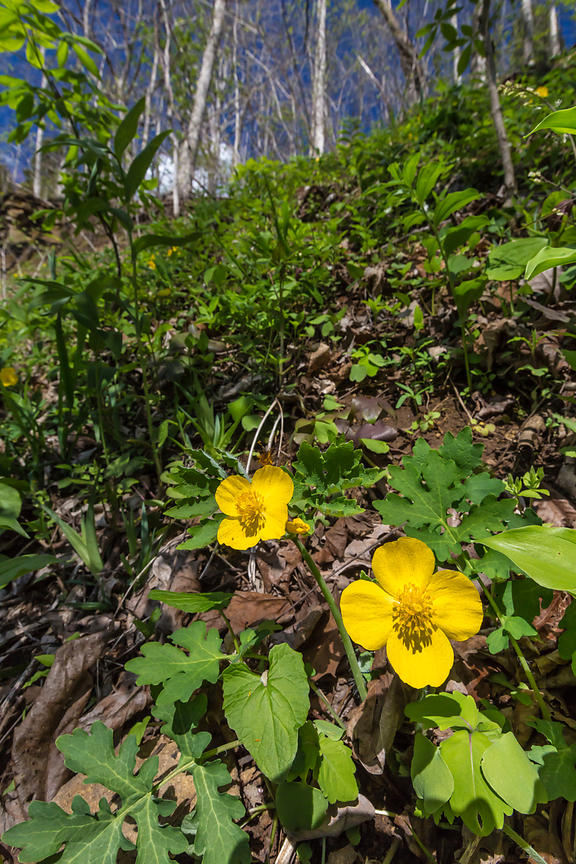 Wood Poppy Flowering at Great Serpent Mound