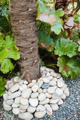 A pebble collar around the base of a palm tree, Trachycarpus fortuei, the Chusan palm, with leaves of Darmera peltat behind. ...