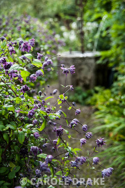 Clematis viticella 'Flore Pleno' growing over a salvaged fence in the Well Garden. Wollerton Old Hall, nr Market Drayton, Shr...