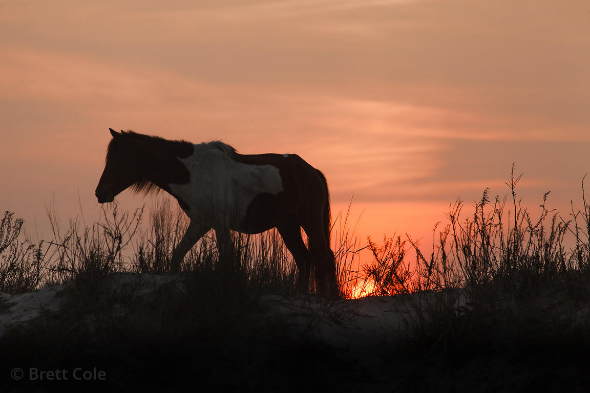 Wild horse (Equus ferus caballus) at sunset on Assateague Island, Maryland