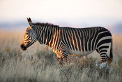 Cape Mountain Zebra (Equus zebra zebra), Mountain Zebra National Park, South Africa