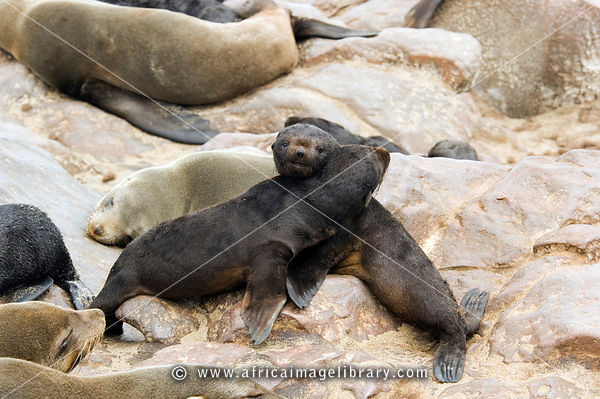 Cape fur Seal pups. The Cape fur seal (Arcocephalus pusillus pusillus) is endemic to Southern Africa. Cape Cross, Skeleton Co...