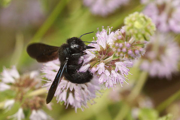 Xylocopa species (undetermined)