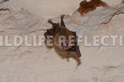 waterhouse_bat_hanging_30