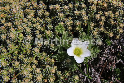 Flower of Scurvygrass (Oxalis enneaphylla) in Diddle-Dee (Empetrum rubrum), Saunders Island, Falkland Islands