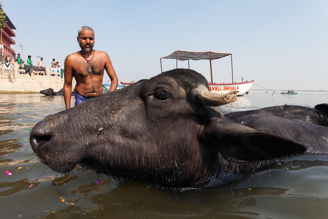 A man washes water buffalo in the Ganges River, Varanasi, India.