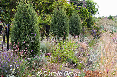 Fastigiate Juniperus communis 'Hibernica' line the path beside the wildlife pond, interspersed with gaura, erysimum, grasses,...