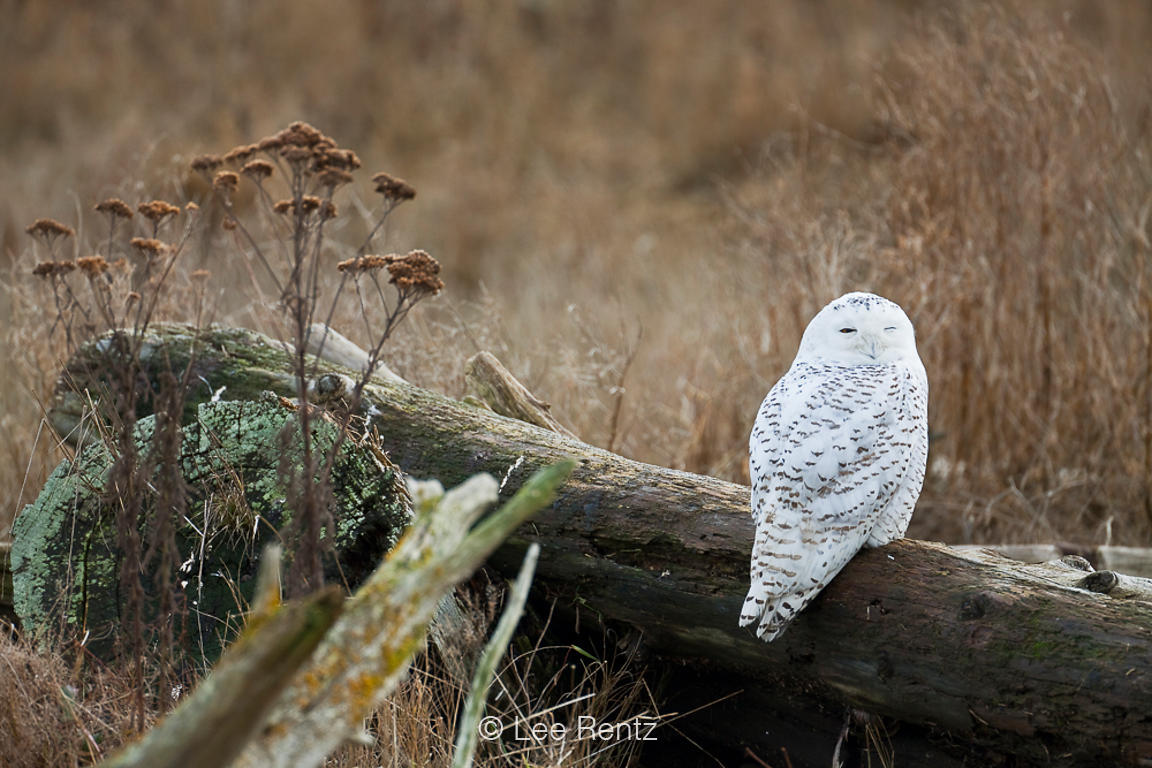 Sleepy Snowy Owl Perched on Driftwood at Boundary Bay