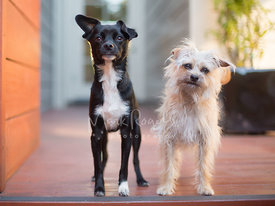 Two Small Terrier Mix Dogs Standing Next to Each other on Porch