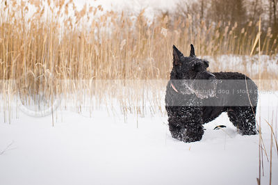 beautiful giant black schnauzer standing in winter field witih reeds