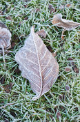 Frosted leaf on grass.