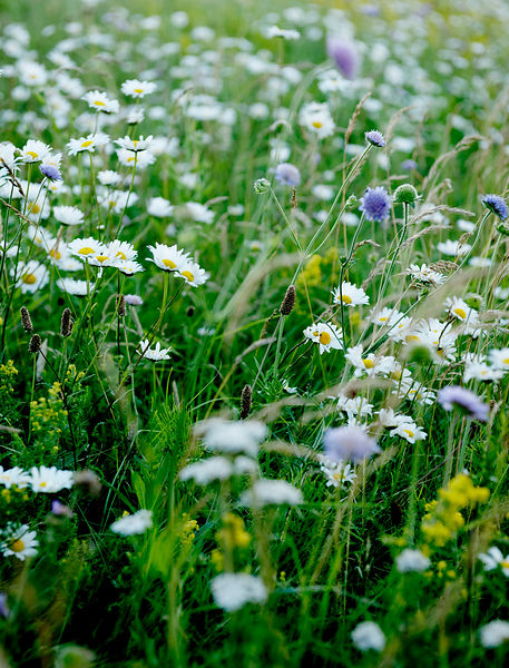 Field of flowers #2