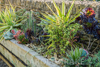 Raised trough of succulents and cacti. Bourton House, Bourton-on-the-Hill, Moreton-in-Marsh, Glos, UK
