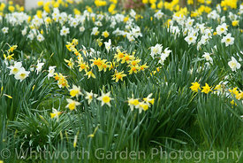 Narcissus – Daffodils flowering in spring. © Jo Whitworth