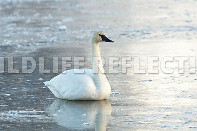 trumpeter_swan_sitting_ice20120101_0001