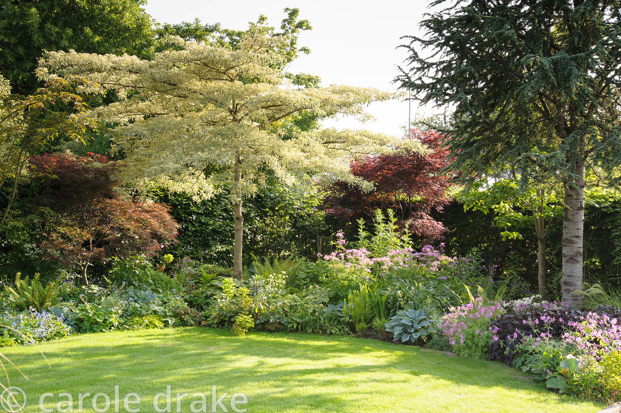 Border in the front garden features trees including Cornus controversa 'Variegata', Cedrus atlantica (Glauca Group) 'Glauca F...