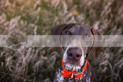 headshot of brown dog looking upward from dried grasses