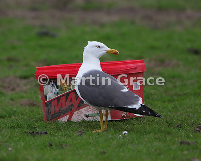 Lesser Black-Backed Gull (Larus fuscus), Fetlar, Shetland