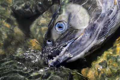 Spawned salmon along Nooklikonic Creek, Great Bear Rainforest, Nuxalk Territory, British Columbia. Look closely and you can s...