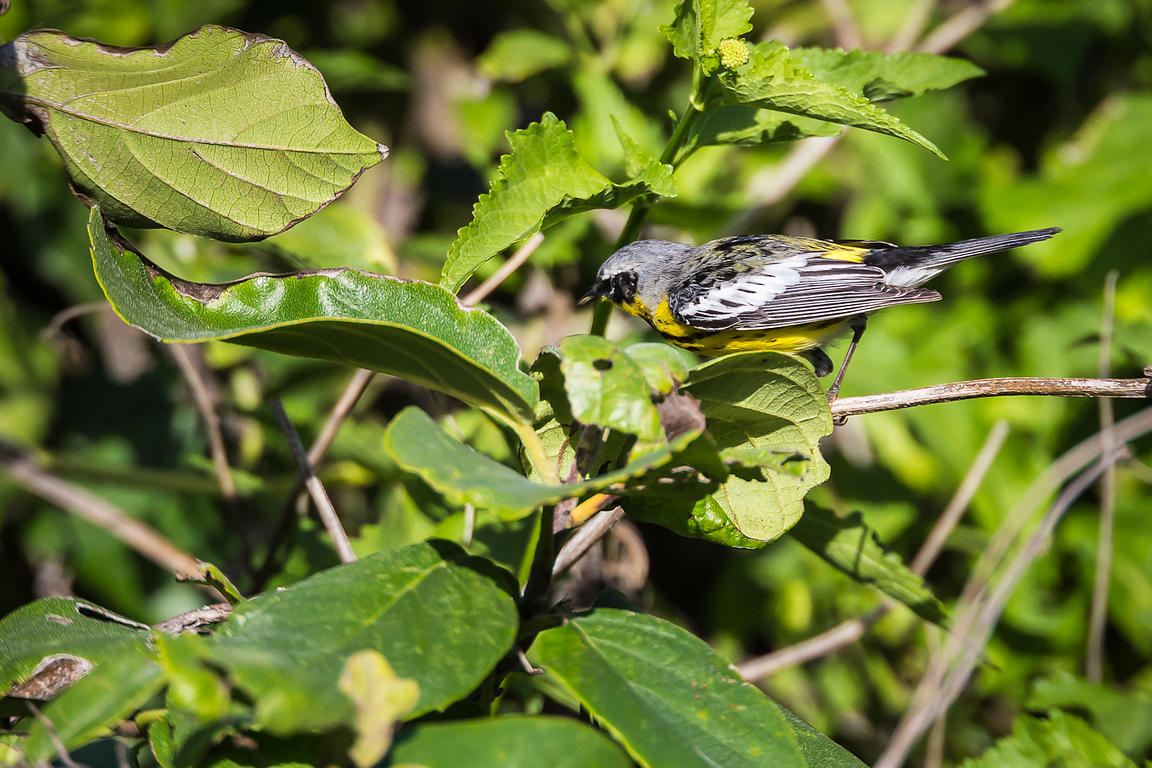 Magnolia Warbler in Dry Tortugas National Park