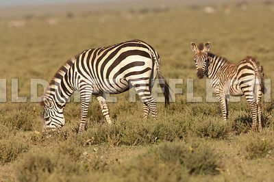 Zebra Foal Watching While Mare Grazes