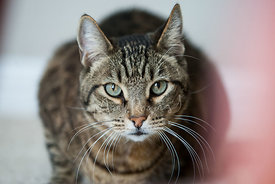 Close-up of crouching brown tabby cat