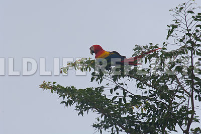 macaw_at_limbs_end