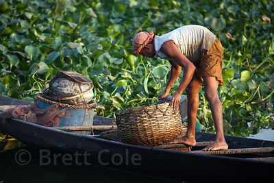 A fisherman collects fish in a basket in the East Kolkata Wetlands, Kolkata, India.