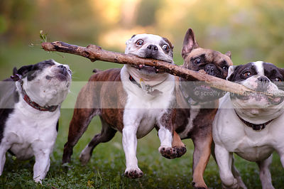 humorous photo of four small dogs fetching one stick together