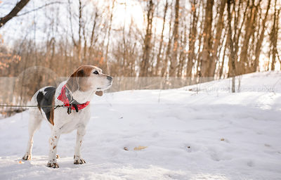 sweet senior beagle standing in winter forest clearing
