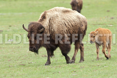 bison_and_calf_walking_1