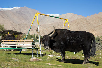 Yak or dong (B. grunniens) on an abandoned playground in Saboo Village, Ladakh, India, Ladakh, India