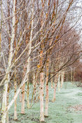 Groups of seven birches in the Birch Grove including Betula utilits var. jacquemontii 'Doorenbos' and pink tinged Betula albo...
